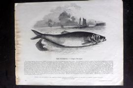 SPCK 1842 Folio Print. Herring Fish